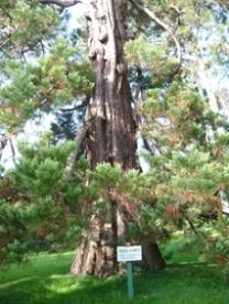 SEF FERRIERES 7300 Séquoia